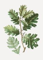 Hungarian oak branch