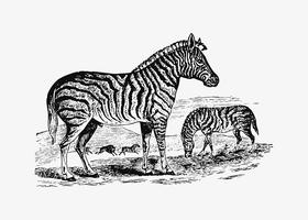 Zebra skuggning ritning