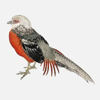 Japanese pheasant by K?no Bairei (1844-1895). Digitally enhanced from our own original 1913 edition of Bairei Gakan.