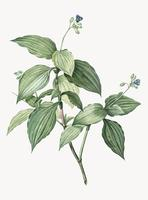 Vintage Illustration av Tradescantia Erecta