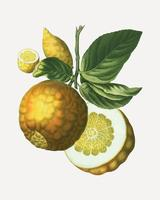 Adam apple fruit