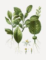 Kaffir lime blad