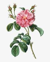 Roze wilde roos