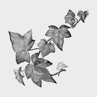 Vintage plants and leaves illustration
