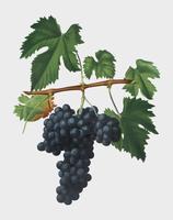 Lacrima grapes from Pomona Italiana illustration