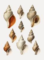 Conch shell varieties