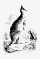 Dessin d'ombre de kangourou