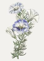 Nolana blomma