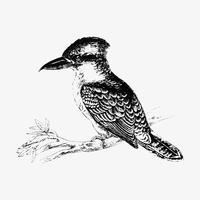 Dessin à l'ombre des oiseaux Jackass