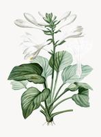 Vintage Illustration of Daylily