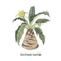 Hand gezeichnete Dorstenia foetida Anlage