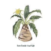 Hand getrokken dorstenia foetida plant