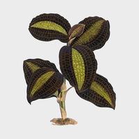 The Golden-Veined Anaectochilus tryck från boken Gems of Nature and Art (1870), ett vintage botaniktryck av gorgeously färgstarka löv. Digitalt förbättrad av rawpixel.