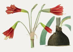 Habranthus blomma