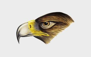 Wedge-tailed Eagle illustration