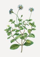 Blue marguerite flowers