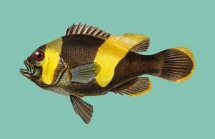 Saddleback Clownfish (Amphipiron Bifasciatus) illustrerad av Charles Dessalines D 'Orbigny (1806-1876). Digitalförstärkt från vår egen 1892-upplaga av Dictionnaire Universel D'histoire Naturelle.