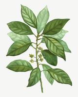 Laurus borbonia rama de un árbol