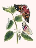 Antique watercolor illustration of nettle butterfly in various life stages published in 1824 by M.P. Digitally enhanced by rawpixel.