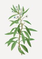 Globe daisy plant