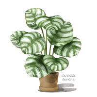 Calathea orbifolia leaf isolated on white background