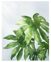 Araliablad op witte achtergrond wordt geïsoleerd die