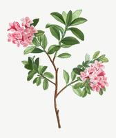 Blommande rosa rododendron