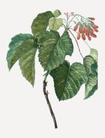 Tatar maple tree branch