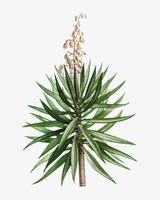 Spanish dagger plant