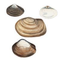 Clam shell-variëteiten