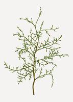 Branche d'arbre sictus