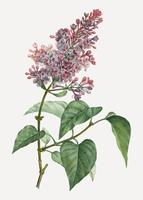 Pink lilac plant