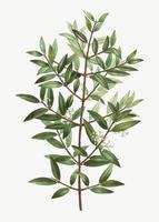 Phillyrea tree branch
