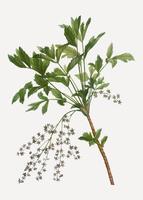Arbusto de rama de raíz amarilla