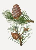 Swiss pine tree