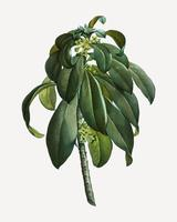 Spurge Laurel-onkruid