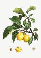 Prugne mature su un ramo