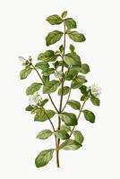 Planta de correa blanca