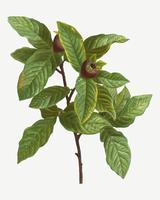 Planta de níspero