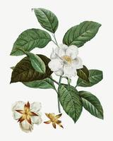 Stewartia tree