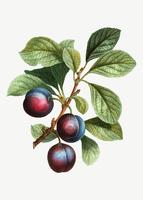 Prunes mûres sur une branche