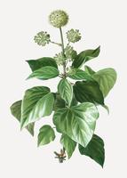 Vanliga murgröna växt