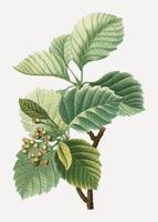 Breedbladige whitebeam plant