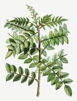 Sicilian sumac branch