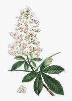 Flor de castaño de indias