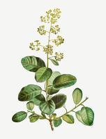 Flor floreciente de smoketree