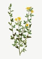 Flores de jazmín amarillas