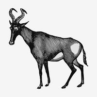 Hartebeest shade drawing