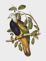 Ilustração de magnífico pombo de fruta