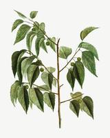 Rama de un árbol de Hackberry